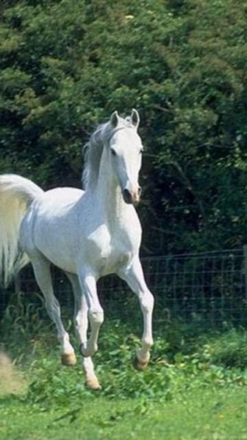 Wallpapers White Stallions On The Run Black Stallion Horse
