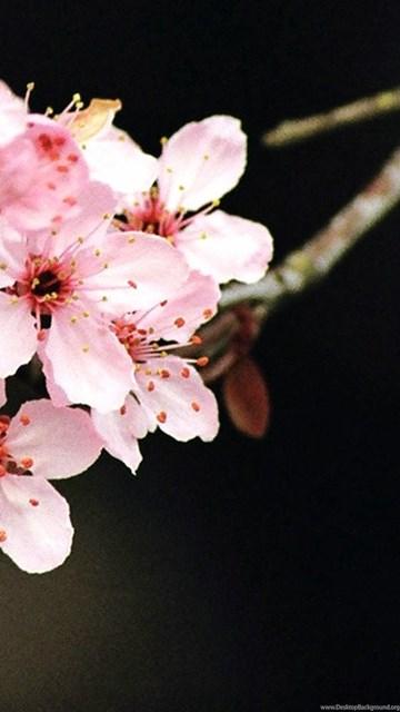 A Sakura Flower Wallpapers Desktop Background