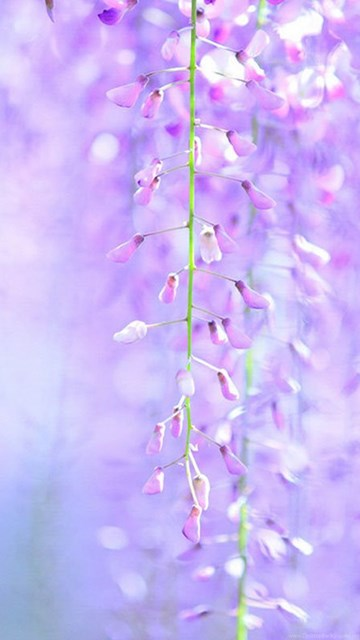 Wisteria Hd Wallpapers 8 - Flower Wallpapers Free Download