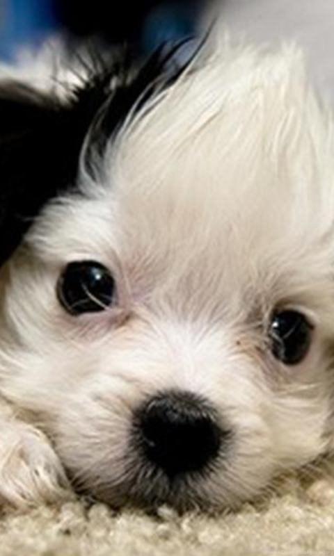 cute puppy wallpaper for computer wwwpixsharkcom
