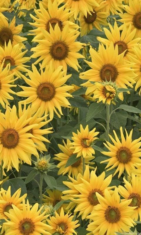 Sunflower Tumblr Backgrounds Wallpaper Desktop Background