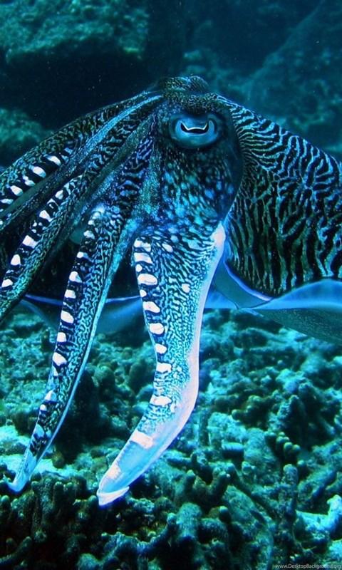 Blue Ringed Octopus Wallpaper.jpg Desktop Background