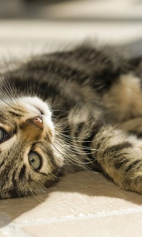 Very Cute Laying Cat Hd Wallpapers E Entertainment Powerballforlife