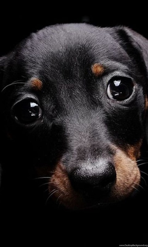 Cute Dog With Sad Eyes Black Backgrounds Wallpapers Dogs