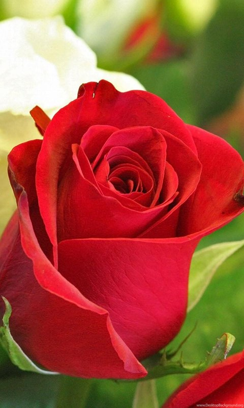 Beautiful Red Rose Flowers Wallpapers Hd For Pc Desktop Desktop