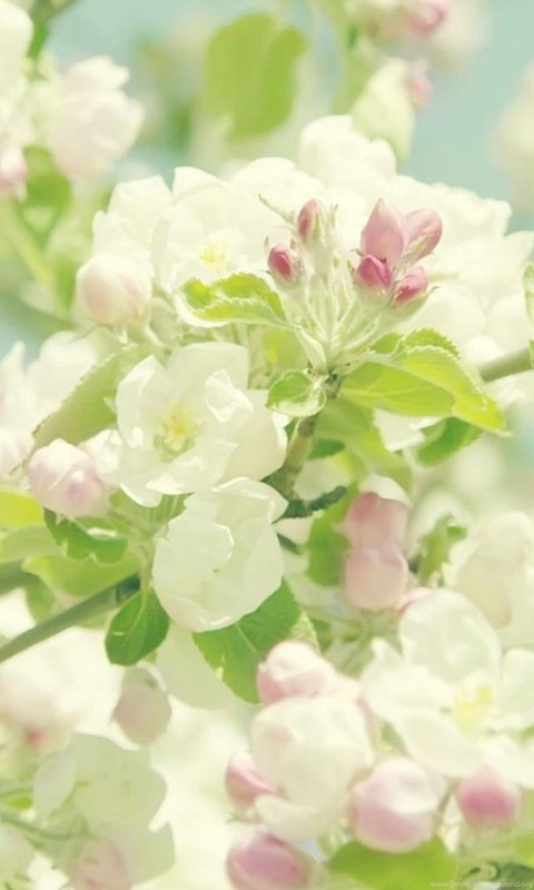Nature Pure Spring Flower Branch Iphone 6 Wallpapers Download