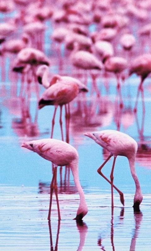 Flamingo Wallpapers Desktop Background Android Wallpaper Hd