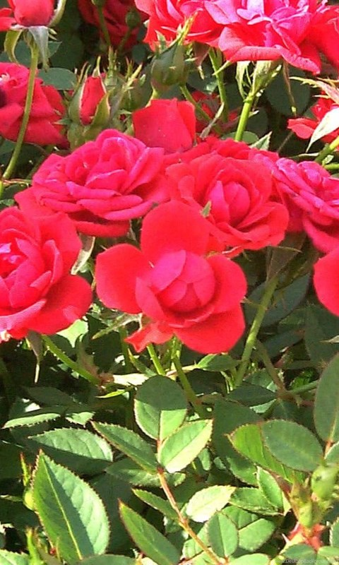 Rose Flowers Wallpaper Rose Flower Garden Wallpapers Desktop Background
