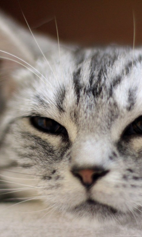 Cute Cats Tabby Cat Tiger Face Wallpapers Desktop Background