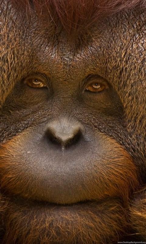 Orangutan Hd Wallpapers Free Hd Wallpapers Download Orangutan Hd