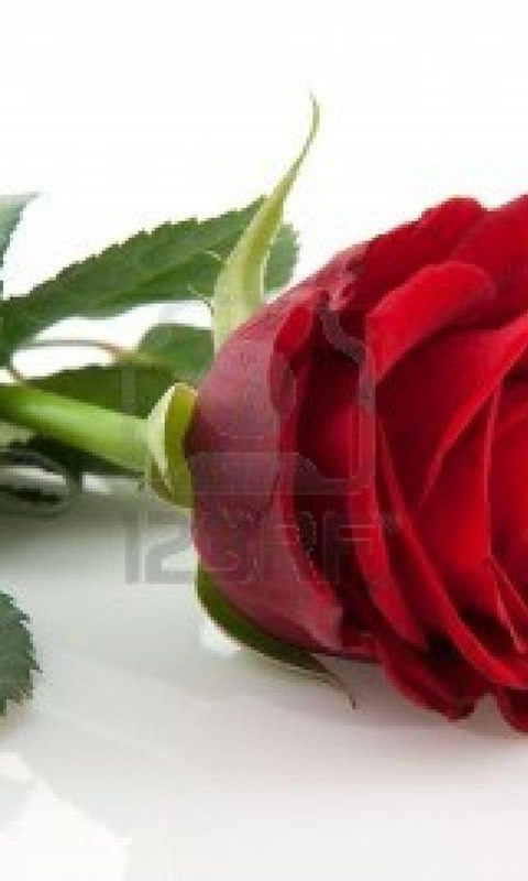 20 Beautiful Single Red Rose Wallpapers Desktop Background