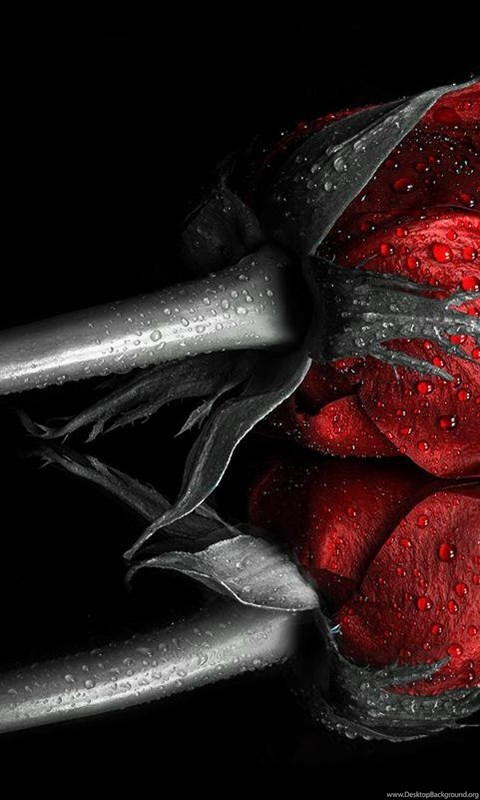 A Dark Red Rose Wallpaper Desktop Background