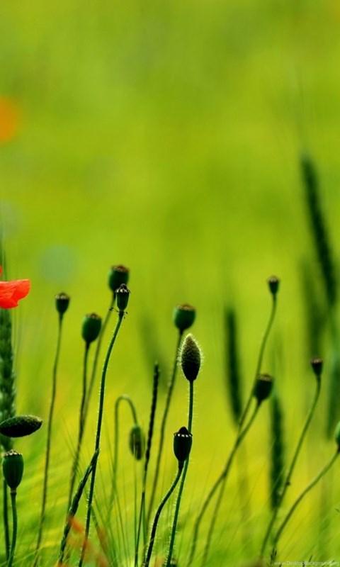 Poppy Flower Wallpapers Free Download Wallpapers Hd For Desktop In
