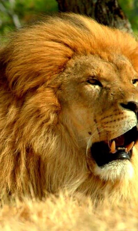 Indian Lion Wallpapers Hd 1080p For Desktop Backgrounds Desktop