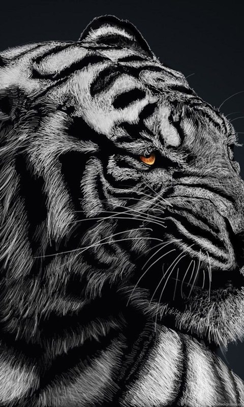 Black And White Tiger Wallpapers High Quality Animal Wallpapers