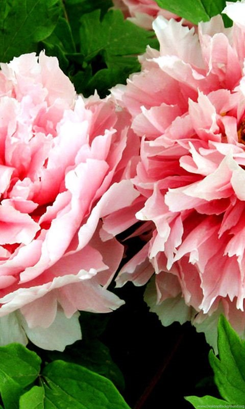 Best Flowers Wallpaper Peony Flower 549309 Flowers Desktop Background
