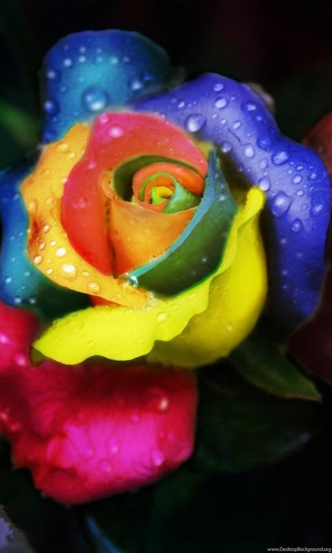 Rainbow rose with water drops desktop background - Rose with water drops wallpaper ...