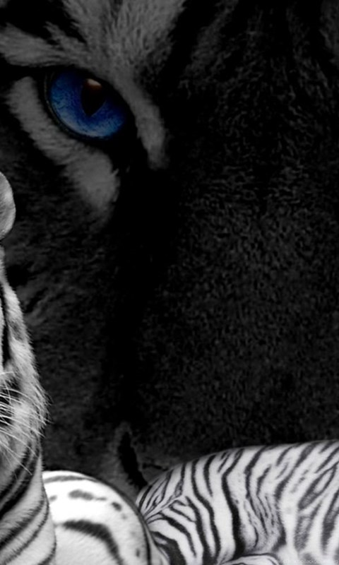 white tiger with blue eyes wallpapers desktop background