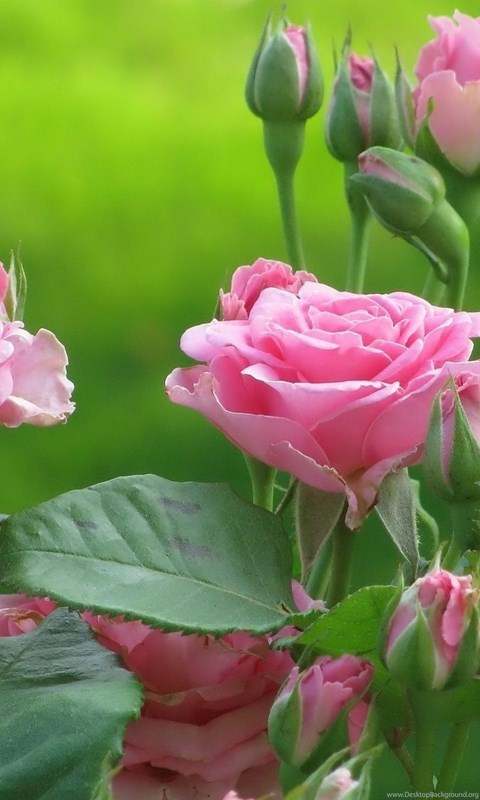 Pictures Of Flowers At Flowerinfo Org: High Resolution Lovely Pink Flower Rose Wallpapers HD 23