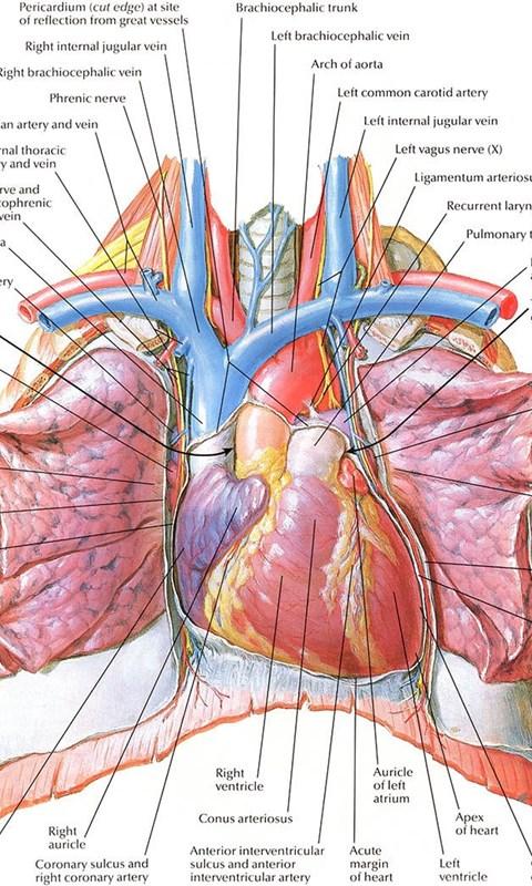 Human Heart Anatomy Diagram Free Hd Wallpapers Desktop ...