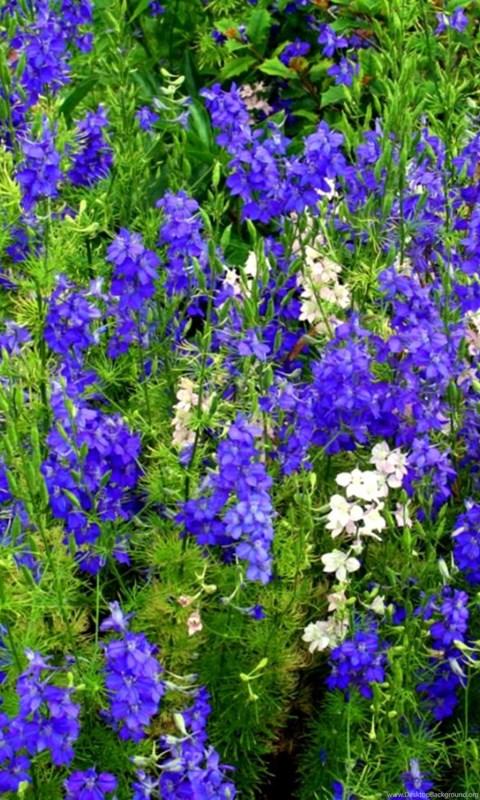 blue spring flowers names wallpapers desktop background
