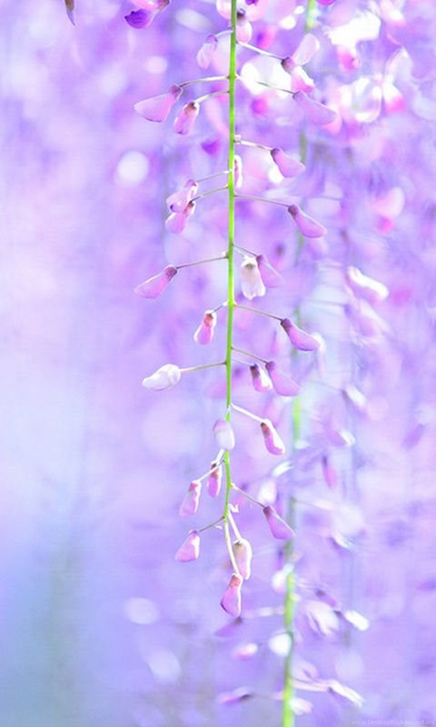 Wisteria Hd Wallpapers 8 Flower Wallpapers Free Download
