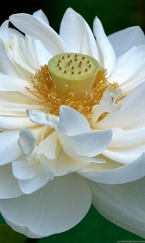 White lotus flower wallpapers 87 lotus flower pictures images android mightylinksfo