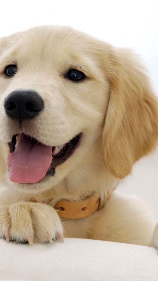 Golden Retriever Puppy Wallpapers Animal Wallpapers Desktop Background