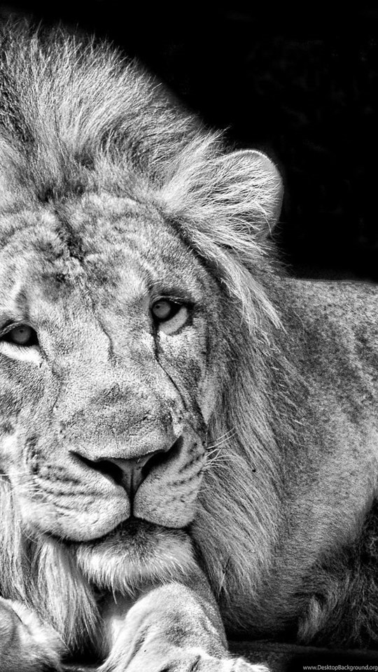 Page 4 Full Hd 1080p Lion Wallpapers Hd Desktop Backgrounds
