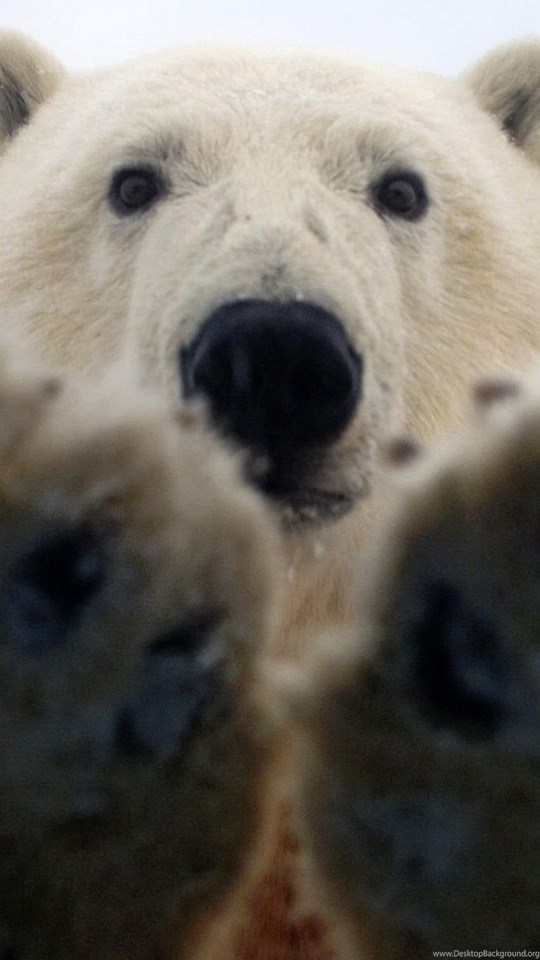 Paws Of A Polar Bear Wallpapers And Images Wallpapers Pictures