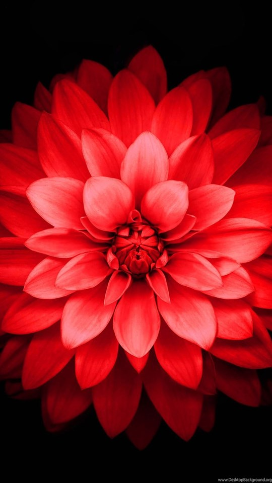 Iphone 6 Plus Red Lotus Flower Retina Wallpaperjpg Desktop Background