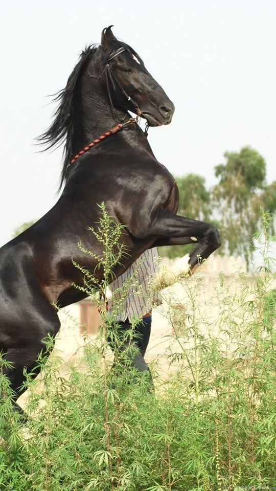 Beautiful Marwari Horse Wallpapers From 2015 Photo Gallery Desktop