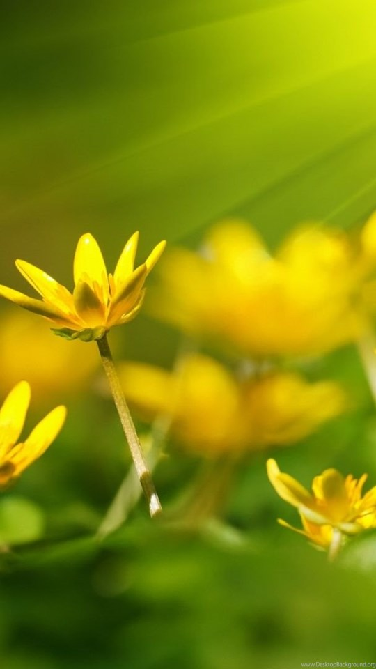 Quotes about yellow flowers quotesgram desktop background mobile android tablet mightylinksfo