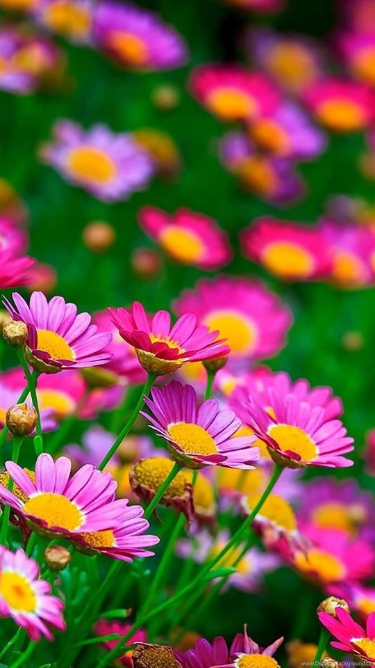 Most Beautiful Flowers Wallpapers For Computer Mobile Desktop