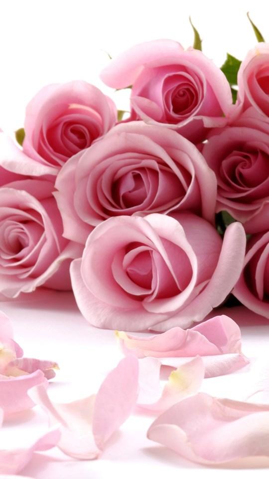 Pink Rose Wallpapers Desktop Background
