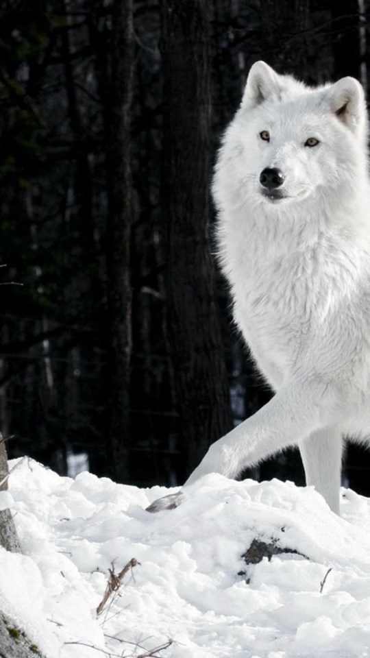 Hd Beautiful White Wolf Wallpapers Full Size Hirewallpapers 3451