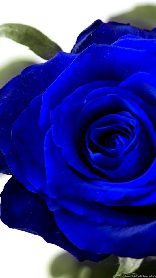 Blue Rose Wallpapers Wallpapers Cave Desktop Background