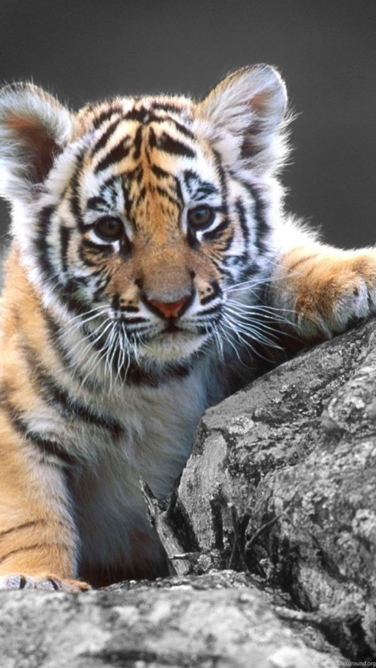 hd cute baby tiger wallpapers hd 1080p full size