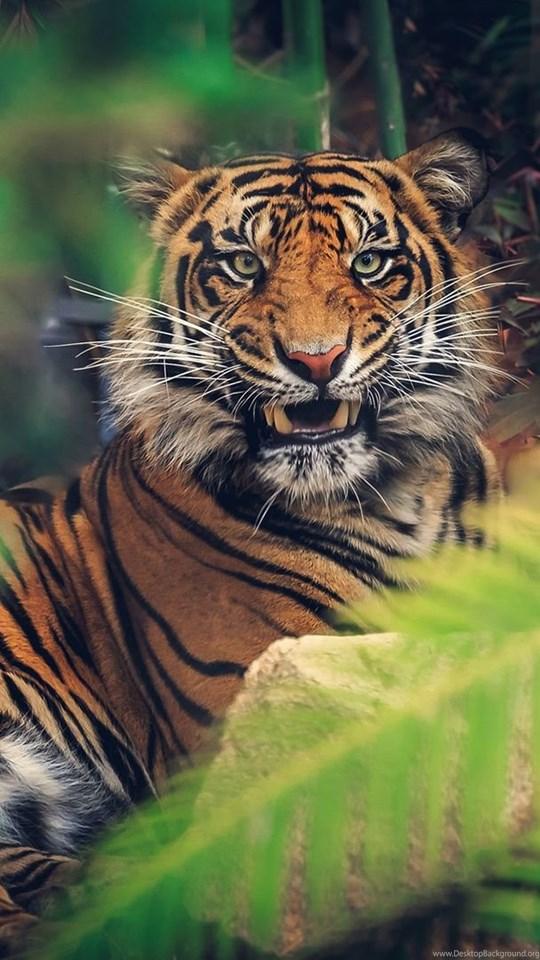 Angry Tiger Wallpapers For Desktop Backgrounds Ndemok Com Desktop