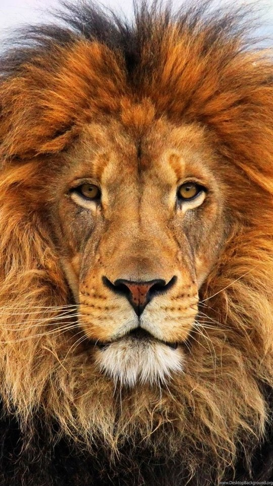 Lion Wallpapers Hd 1080p Free Large Images Desktop Background