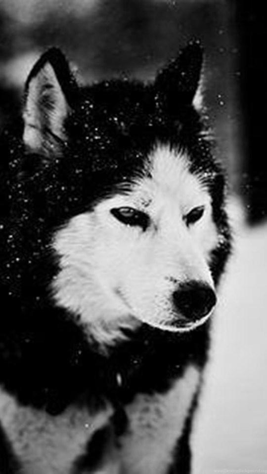Siberian Husky Animals Close Up Grayscale Husky Wallpapers Desktop