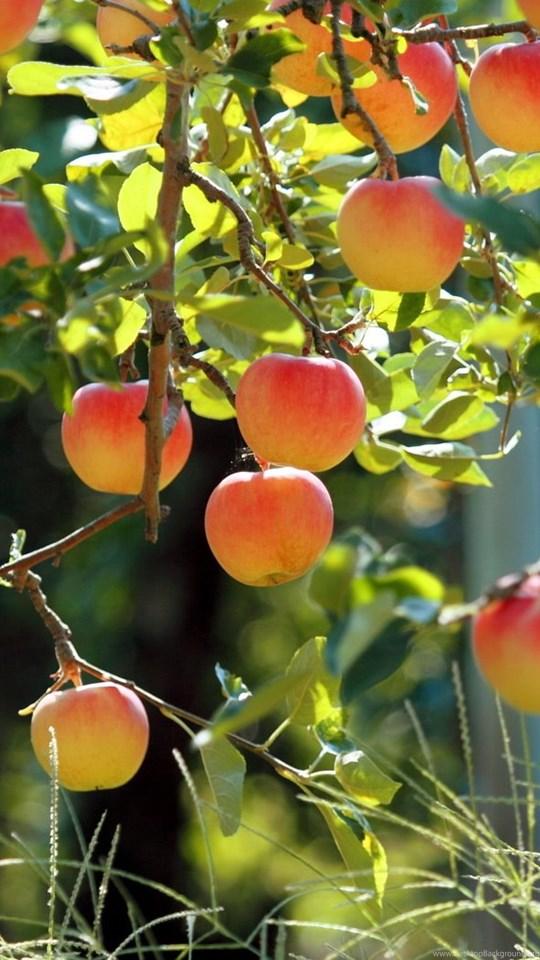 891866 apples on apple tree