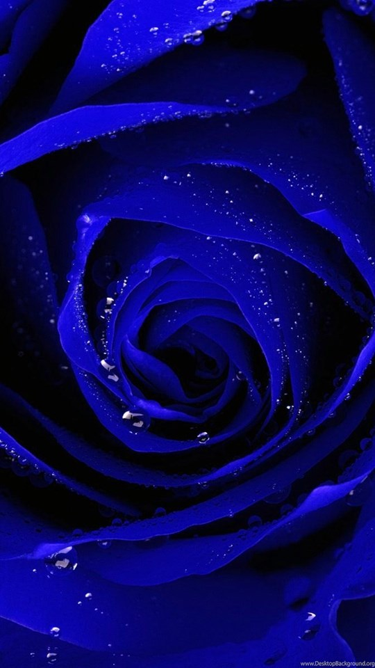 Blue rose hd wallpapers pictures for mobile desktop background - Blue rose hd wallpaper download ...