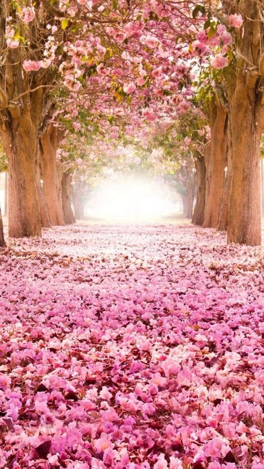 Flower Tunnel Of Sakura Flowers Wallpapers Hd Download Desktop