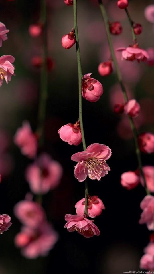 Sakura Blossom Awesome Spring Flowers Wallpaper Hd Nature