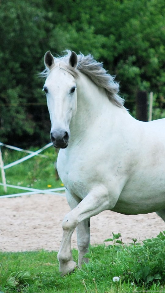 Animal Wallpaper White Horse Wallpapers Phone Hd Backgrounds