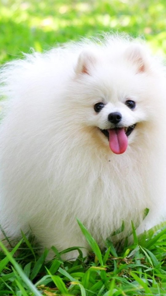 Cute Pomeranian Dog Wallpapers For Desktop Desktop Background