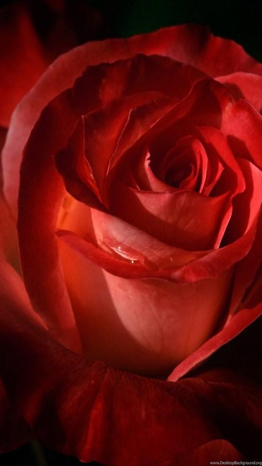 All New Wallpapers Gambar Bunga Mawar Merah Cantik 11 Gambar