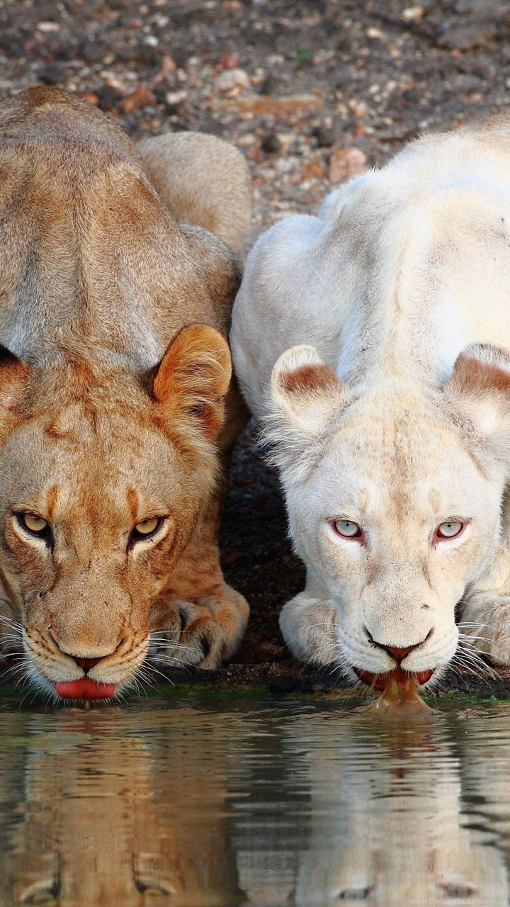 White Lion Wallpapers Desktop Background