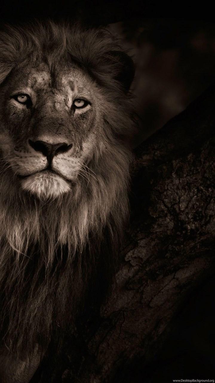Lion Hd Wallpapers Page 0 Desktop Background